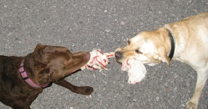 Dogs playing Tug o War