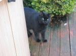 Black Cat Cousin