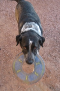 Bongo Bringing the Frisbee
