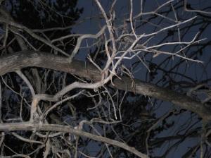 Quail Tree
