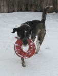 Bongo with Frisbee in the Snow