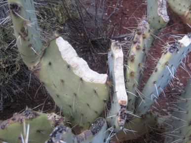 Prickly Pear Bitten by Javelina