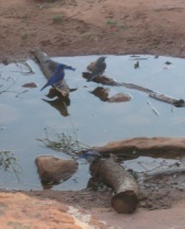 Bluebirds in a Puddle