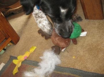 Bongo Chewing the Reindeer