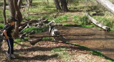Bongo Carrying a Log