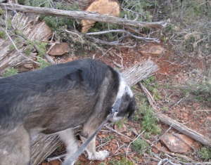 Bongo Sniffing Branches