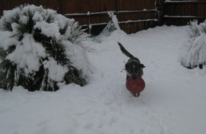 Bongo with a Frisbee in the Snow