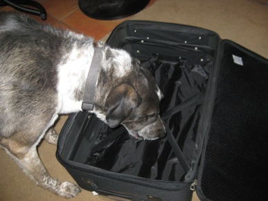 Bongo Looking in a Suitcase