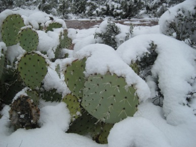Prickly Pear in Snow