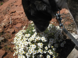 Bongo sniffing a bouquet of wildflowers
