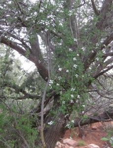 Flowers hanging on juniper tree