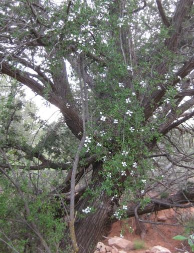 Flowers hanging on juniper tree
