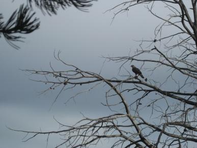 Raptor in a Tree