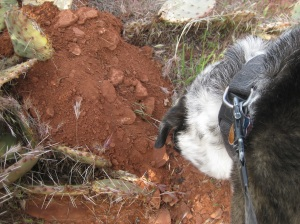 Bongo Sniffing a Dirt Pile