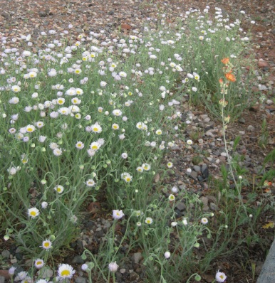 Symphony of Daisies