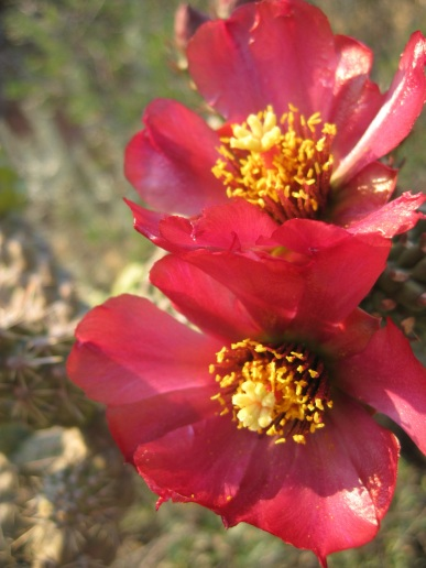 Red Cholla Flowers