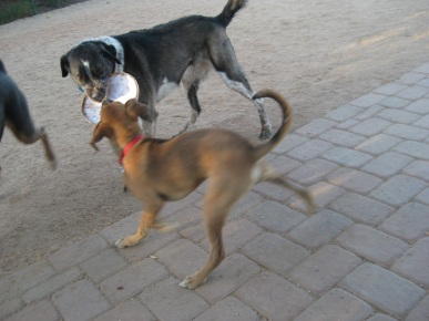 Baxter Grabbing Bongo's Frisbee