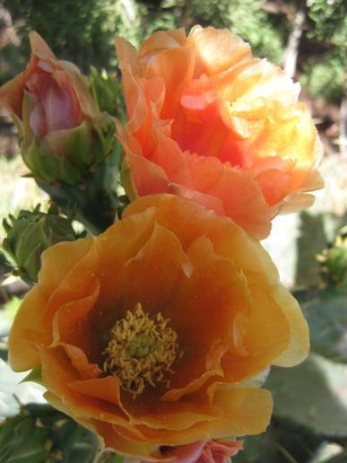 Orange Prickly Pear Blossoms