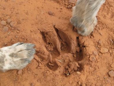 Bongo's Paws Next to Paw Print