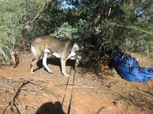 Bongo checking out a sleeping bag
