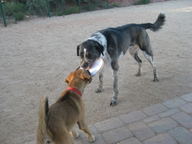 Baxter and Bongo playing Tug o War with the Frisbee