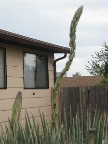 Yucca shoot