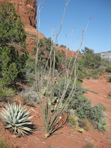 Agave and Ocotillo