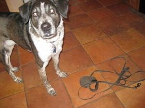 Bongo and his leash