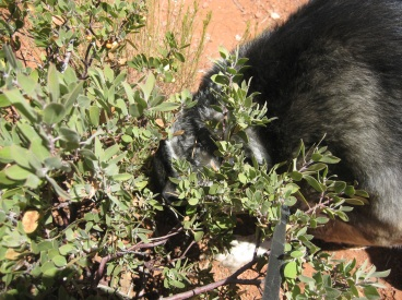 Bongo sniffing inside a manzanita bush