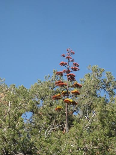 Century Plant in Pine Trees