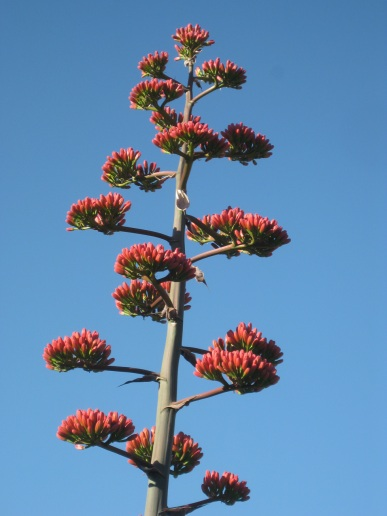 Close up of Red Century Plant