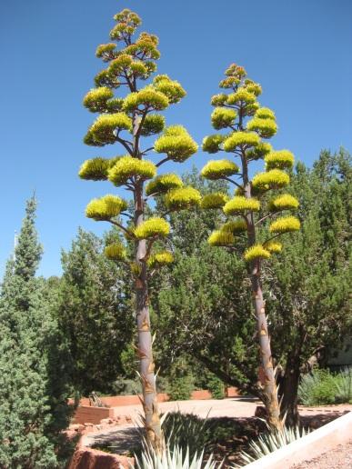 Double Century Plants