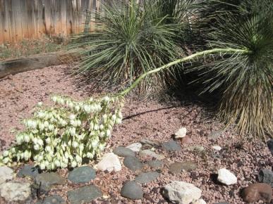 Fallen Yucca Stalk