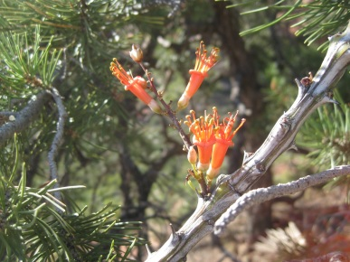Ocotillo Flowers