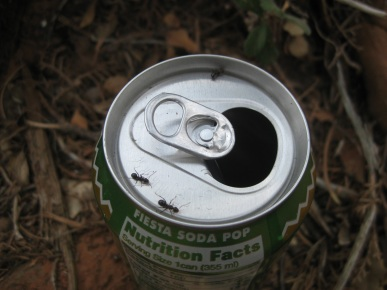 Ants on Pop Can
