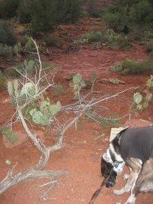 Bongo at a blocked trail
