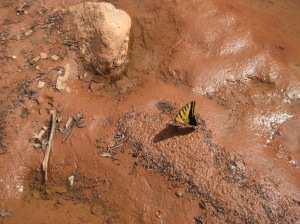 Butterfly near a puddle