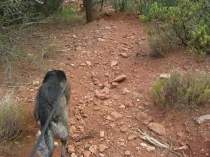 Bongo on the Steep Trail