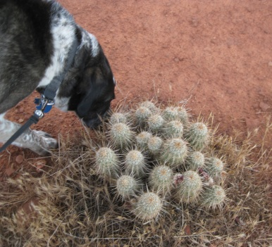 Bongo sniffing near the hedgehog cactus