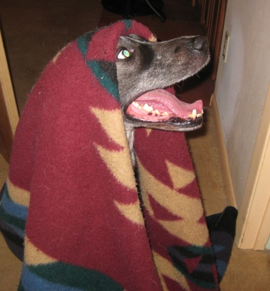 Bongo Under a Blanket