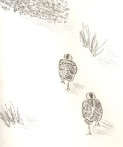 Baby Quail drawing