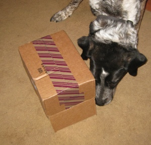 Bongo sniffing an upside down box