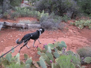 Bongo on the trail with prickly pear cactus around