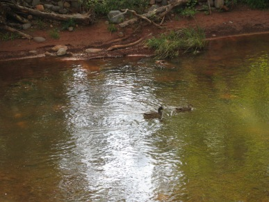 Ducks on the Creek
