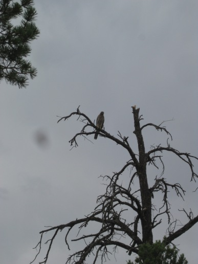 Hawk in the top of a dead tree