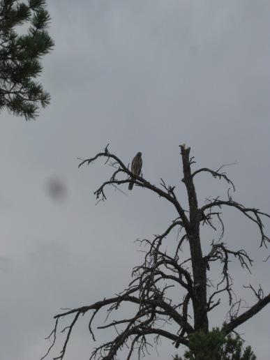Hawk in the top of a dead tree
