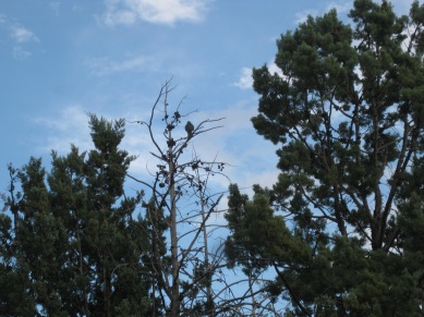 Hawk in a tree