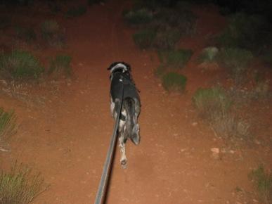 Bongo hurrying down the trail