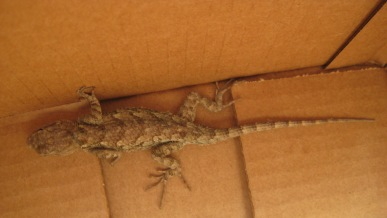 Lizard in a box