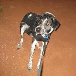 Bongo resisting the leash